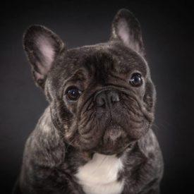 CARLOS Bomberdog